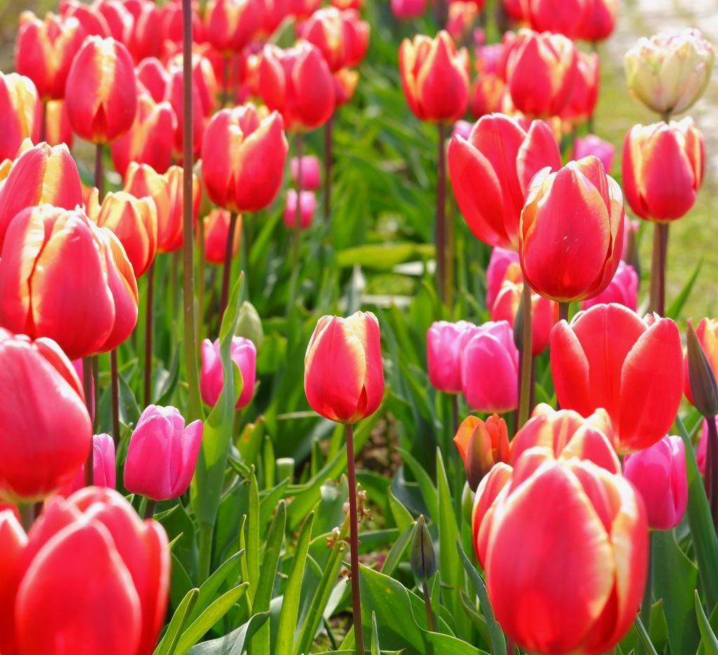 Rode Tulpen bloemen Nederland