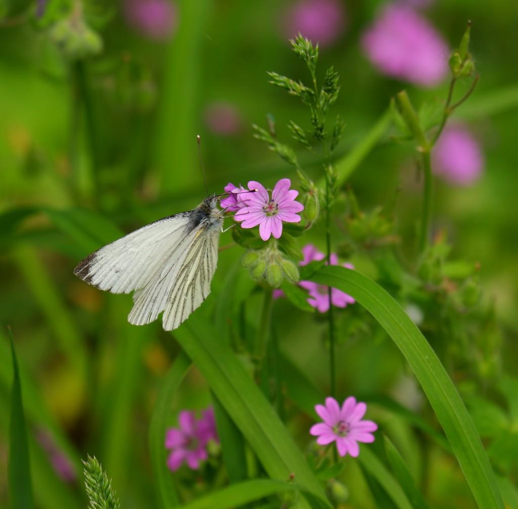 Hobokense Polder witte vlinder paarse bloem