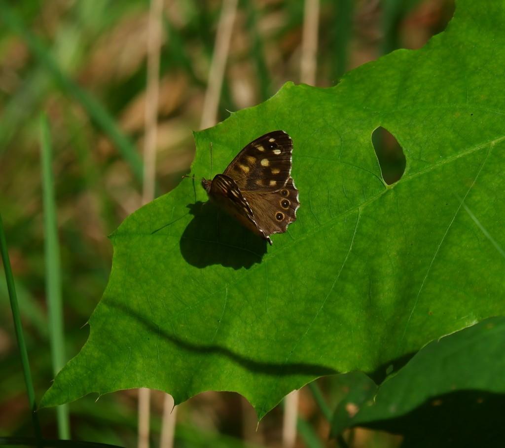 Wandelen vlinders herkennen natuurwandeling België Nederland Benelux bont zandoogje