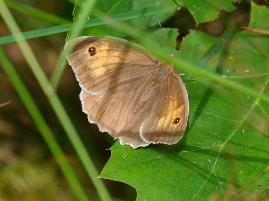 Wandelen vlinders herkennen natuurwandeling België Nederland Benelux  bruin zandoogje