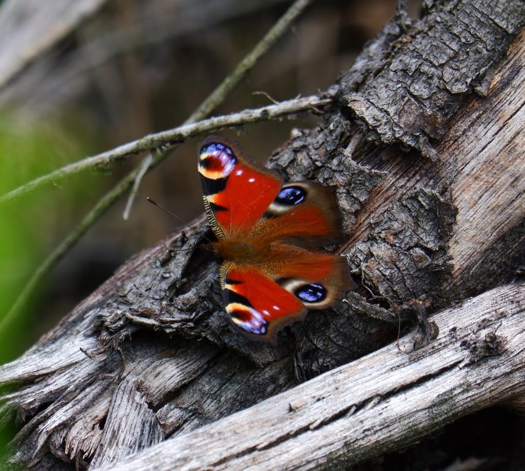 Wandelen vlinders herkennen natuurwandeling België Nederland Benelux dagpauwoog