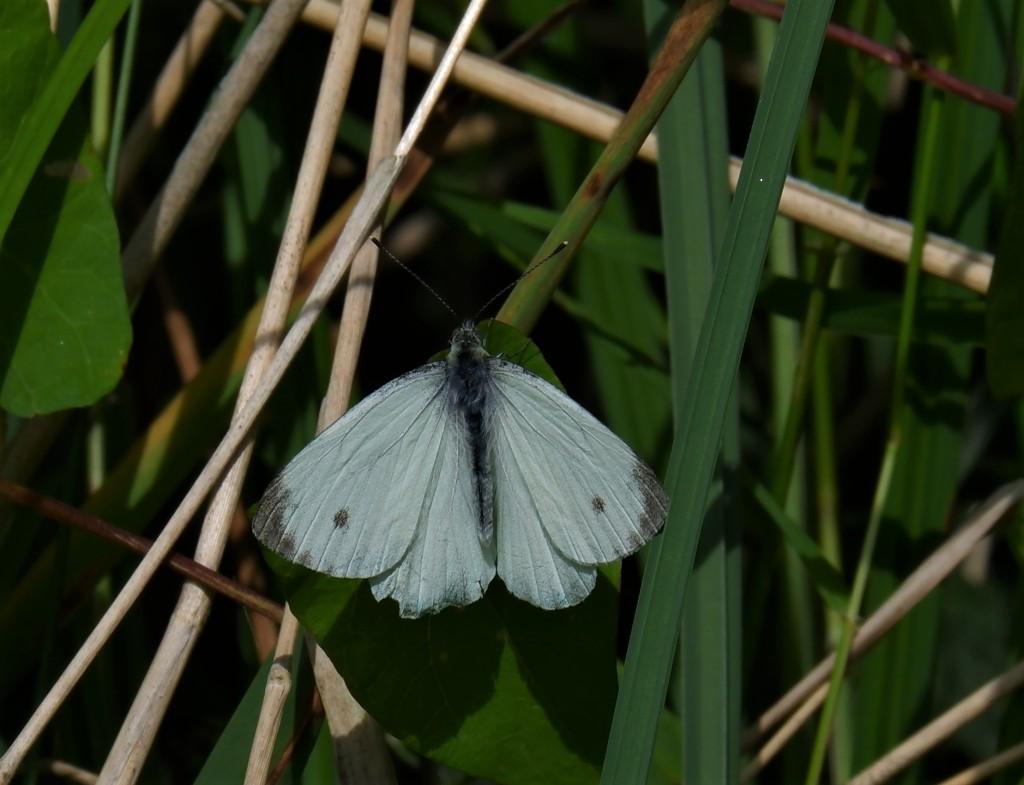 Wandelen vlinders herkennen natuurwandeling België Nederland Benelux groot koolwitje