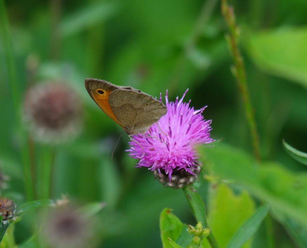 wandeling grotenhoutbos Vosselaar wandelknooppunt wandelroute vlinder bruin zandoogje