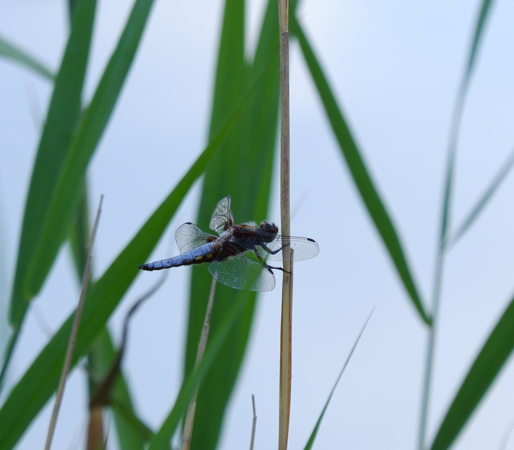 wandeling grotenhoutbos Vosselaar wandelknooppunt wandelroute blauwe libelle