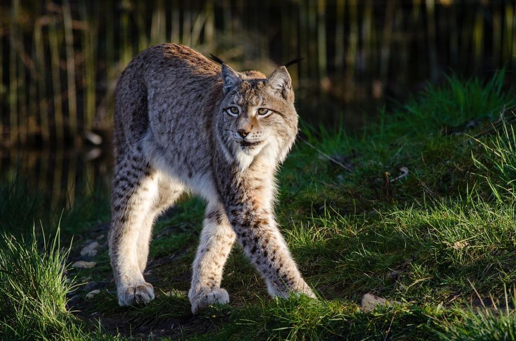 big five Europa wandelen Benelux wandeling lynx dieren wildpark