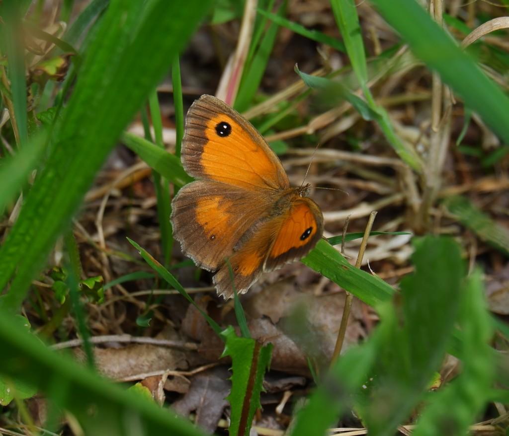 Wandelen vlinders herkennen natuurwandeling België Nederland Benelux oranje zandoogje