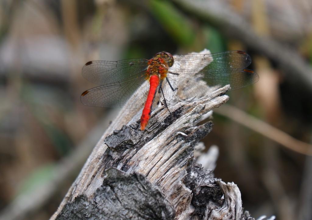 wandelroute wandelknooppunt knooppunt ravelse gewestbossen natuurgebied rode libelle