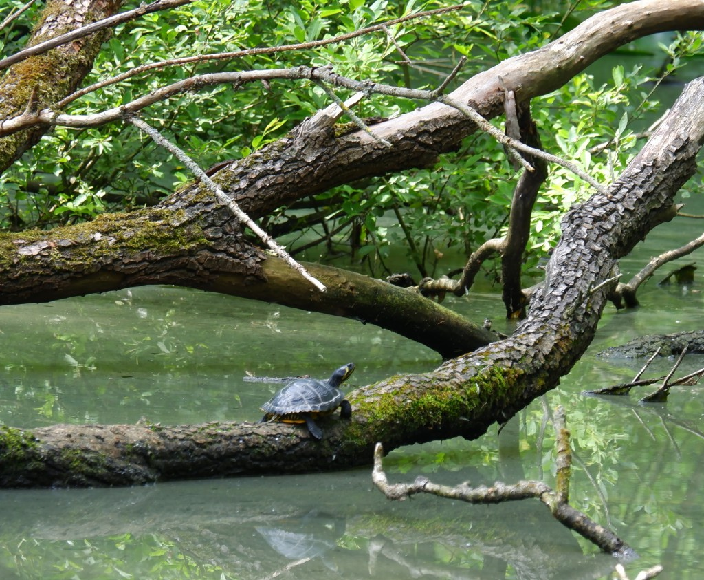 wandelroute wandelknooppunt knooppunt ravelse gewestbossen natuurgebied schildpad