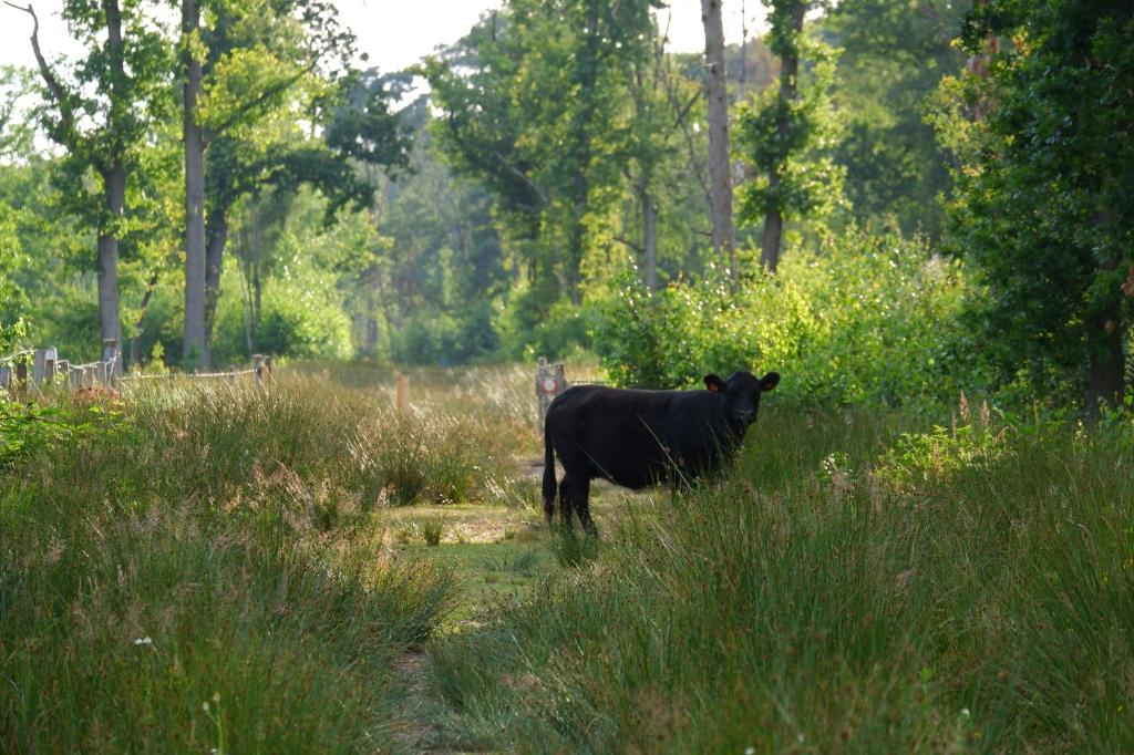 Vennengebied Turnhout wandelroute natuurreservaat natuurgebied koe