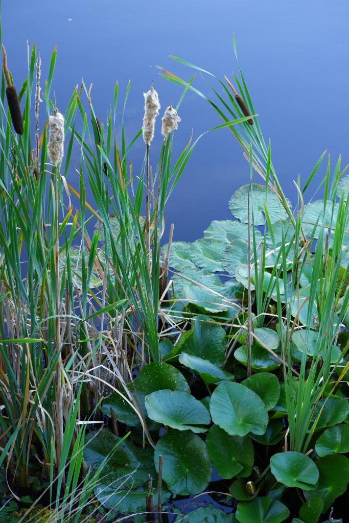Vennengebied Turnhout wandelroute natuurreservaat natuurgebied waterlelies
