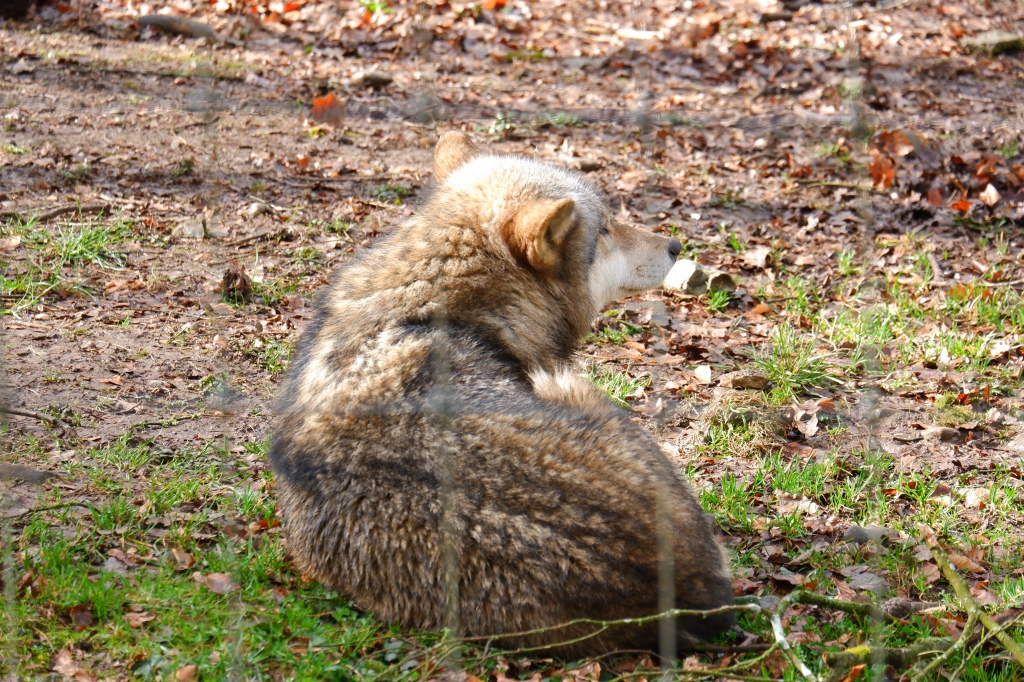 big five Europa wandelen Benelux wandeling wolf dieren wildpark