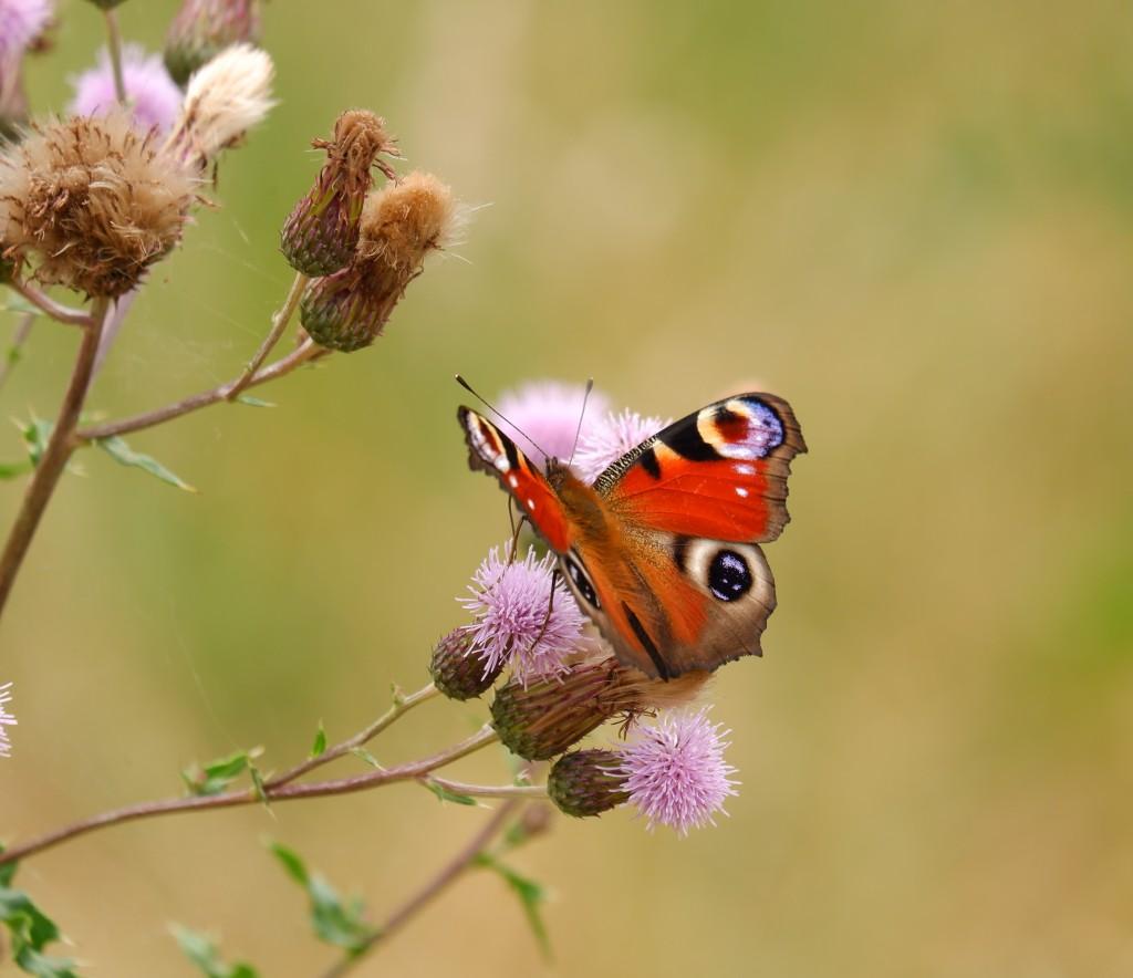 natuurfotografie wandelblog reisblog België Nederland vlinder