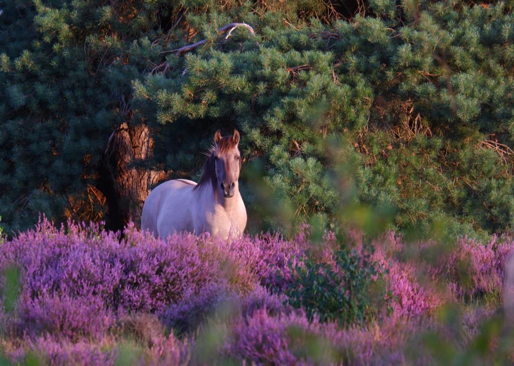 natuurdomein wandelen wandelroute knooppunten fietsen liereman kempen heide paardrijden konikpaard
