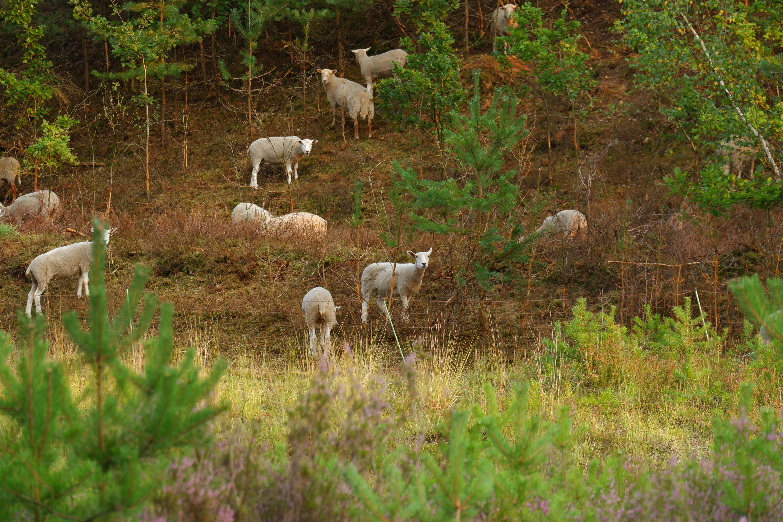 hoge rielen natuurdomein jeugdverblijf kamp kamperen wandelen wandelroute schapen
