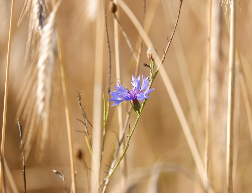 wandelen natuurwandeling wandelroute kolonie Wortel wandelknooppunt fietsknooppunt blauwe korenbloem