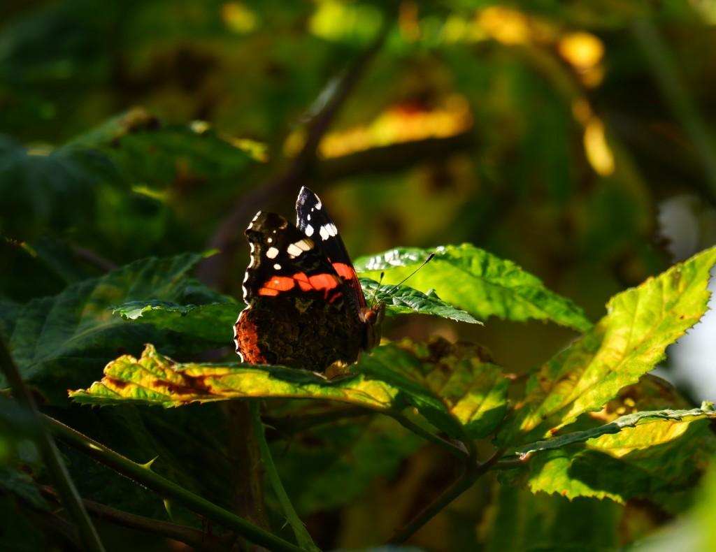 wandelen natuurwandeling wandelroute kolonie Wortel wandelknooppunt fietsknooppunt vlinder Atalanta