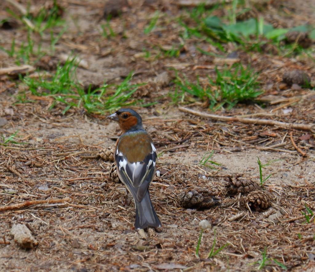 landschapsfotografie natuurfotografie vogel vink vogelfotografie