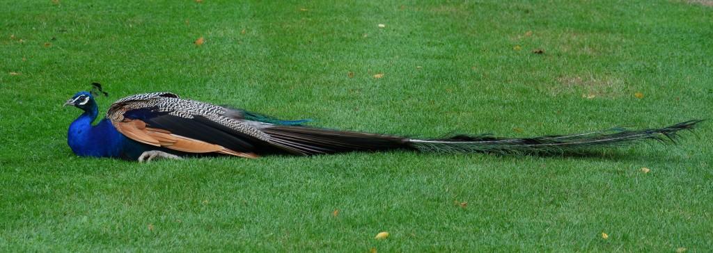 koninklijk paleis Apeldoorn  Het Loo pauw