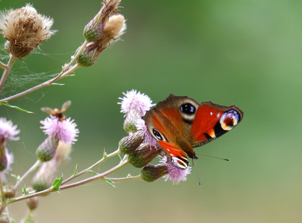 vlinder dagpauwoog sallandse heuvelrug Nederland Holten