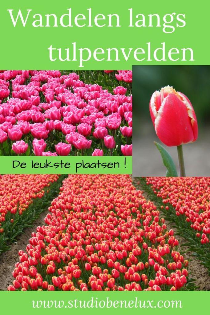 wandelen wandeling tulpenvelden tulpen bloemen natuurwandeling fietsroutes Nederland Benelux