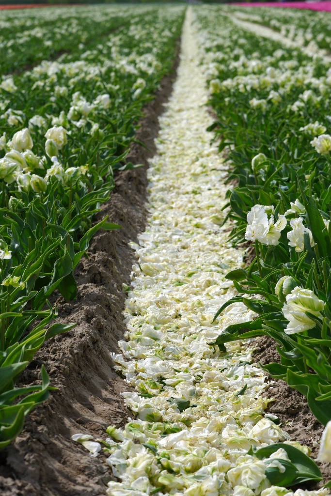 tulpen tulpenvelden tulips tours Nederland Benelux koppen