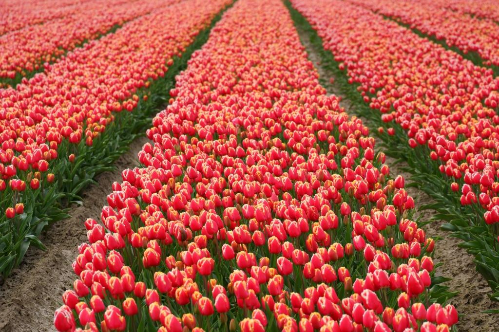 tulpen tulpenvelden tulips tours Nederland Benelux
