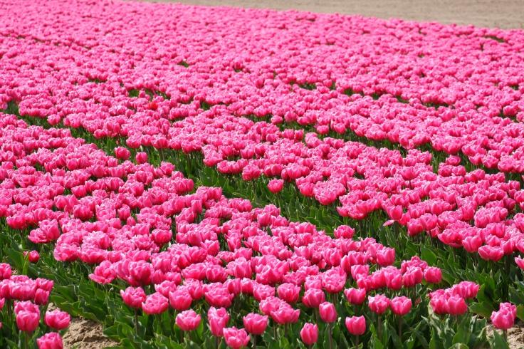 tulpenvelden Nederland lentewandeling bloemen
