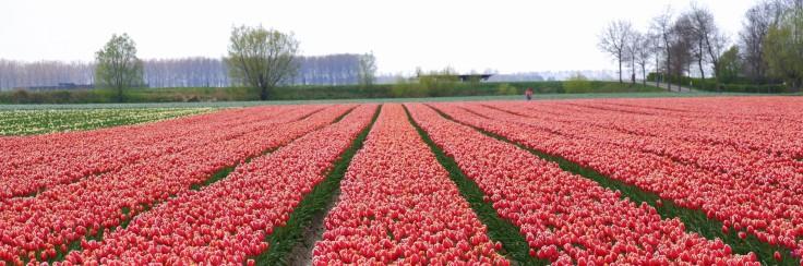 Nederland weetjes Benelux tulpenvelden