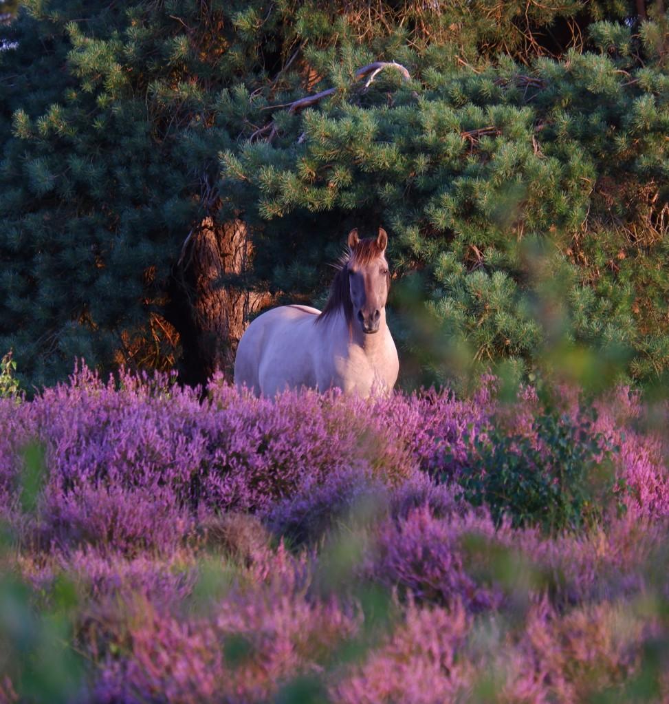 koninkpaard heideveld wilde paarden paardenliefhebber