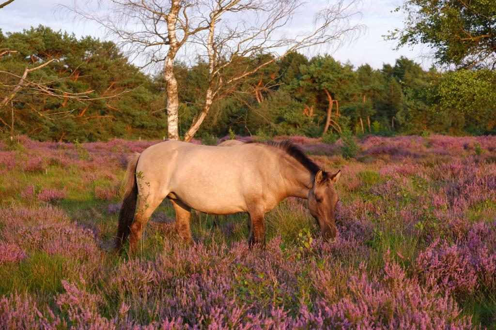 heidegebied wandeling wandelen fietsen Nederland België mooiste heide moorland heather paard liereman Oud-Turnhout Antwerpen