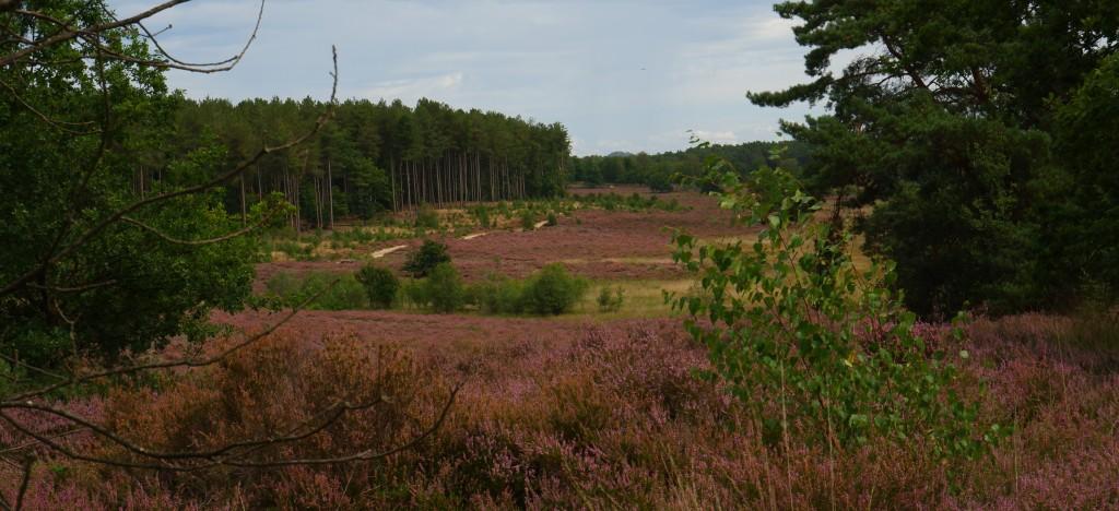 heidegebied wandeling wandelen fietsen Nederland België mooiste heide moorland heather de teut zonhoven limburg midden