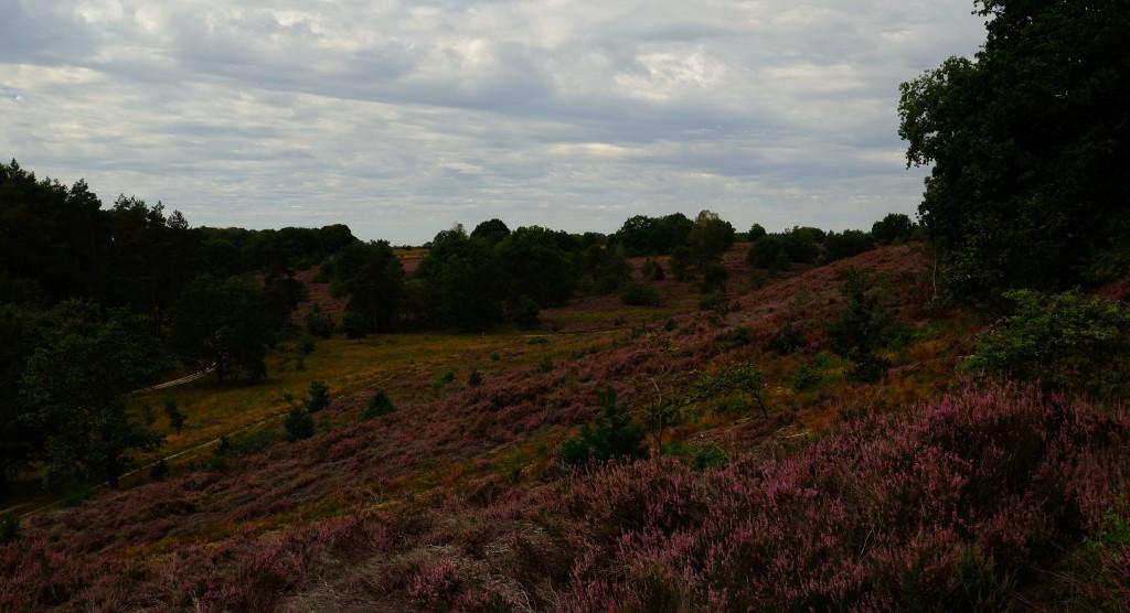 heidegebied wandeling wandelen fietsen Nederland België mooiste heide moorland heather nationaal park mechelse heide limburg