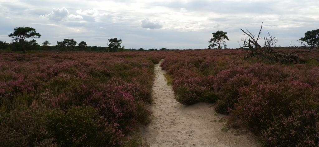 heidegebied wandeling wandelen fietsen Nederland België mooiste heide moorland heather nationaal park kalmthoutse heide