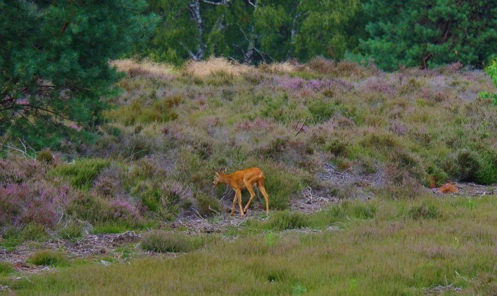 heidegebied wandeling wandelen fietsen Nederland België mooiste heide moorland heather hert sallandse heuvelrug
