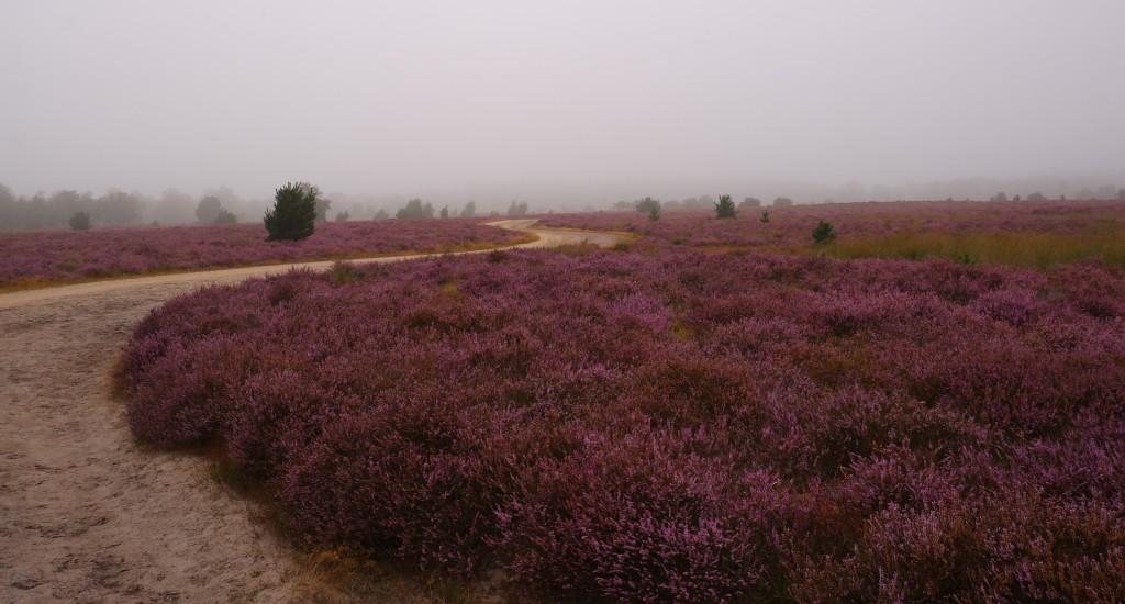 heidegebied wandeling wandelen fietsen Nederland België mooiste heide moorland heather abdij strabrechtse heide heeze Noord-Brabant