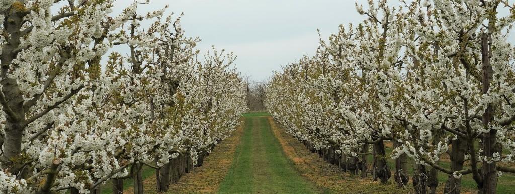 fruitbloesems boomgaard haspengouw limburg sint-truiden fruitvallei wandelen wandelroute Vlaanderen België Benelux