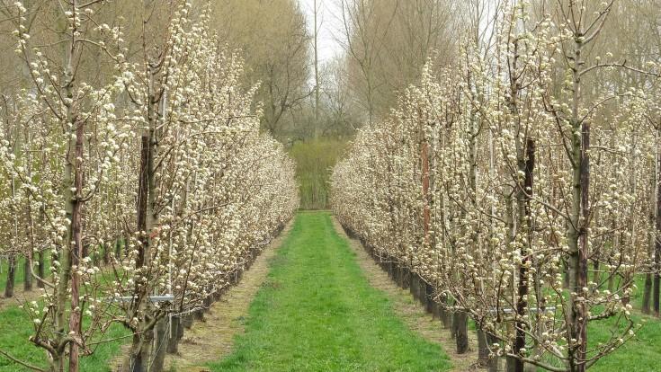 fruitbloesems haspengouw lentewandeling