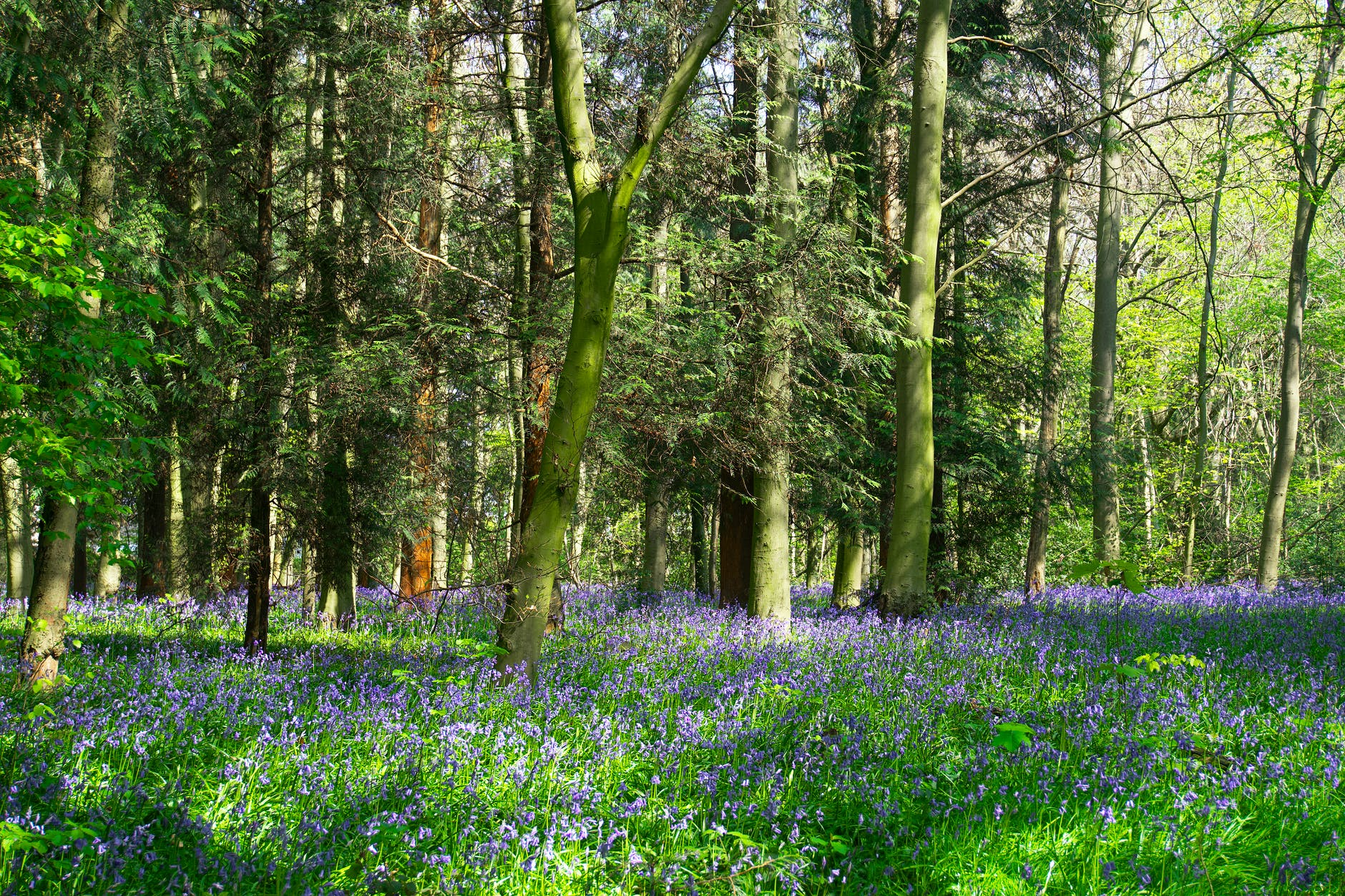 Hallerbos Halle Brussel wilde  boshyacint blauwe bos