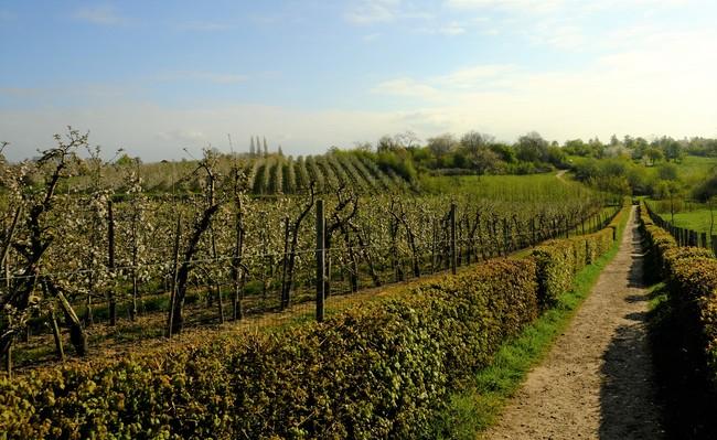Borgloon fruitbloesems wandelpad Limbug wandeltocht boomgaard landschap Belgique Belgium rando